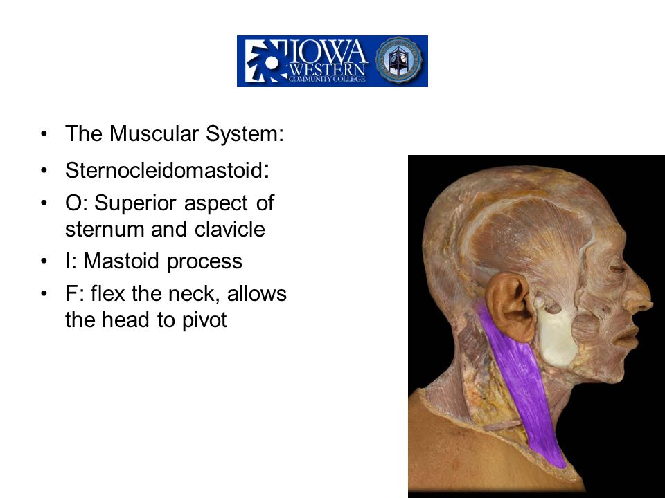 The Muscular System: Sternocleidomastoid : O: Superior aspect of sternum and clavicle I: Mastoid process F: flex the neck, allows the head to pivot
