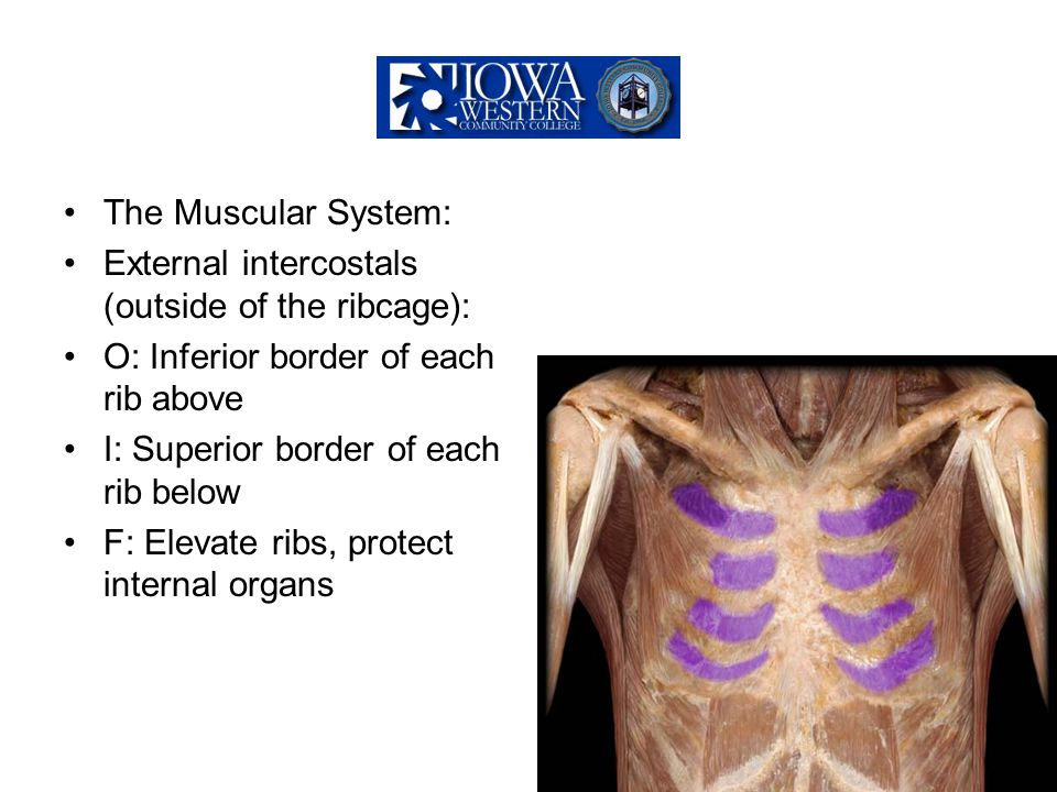 The Muscular System: External intercostals (outside of the ribcage): O: Inferior border of each rib above I: Superior border of each rib below F: Elev