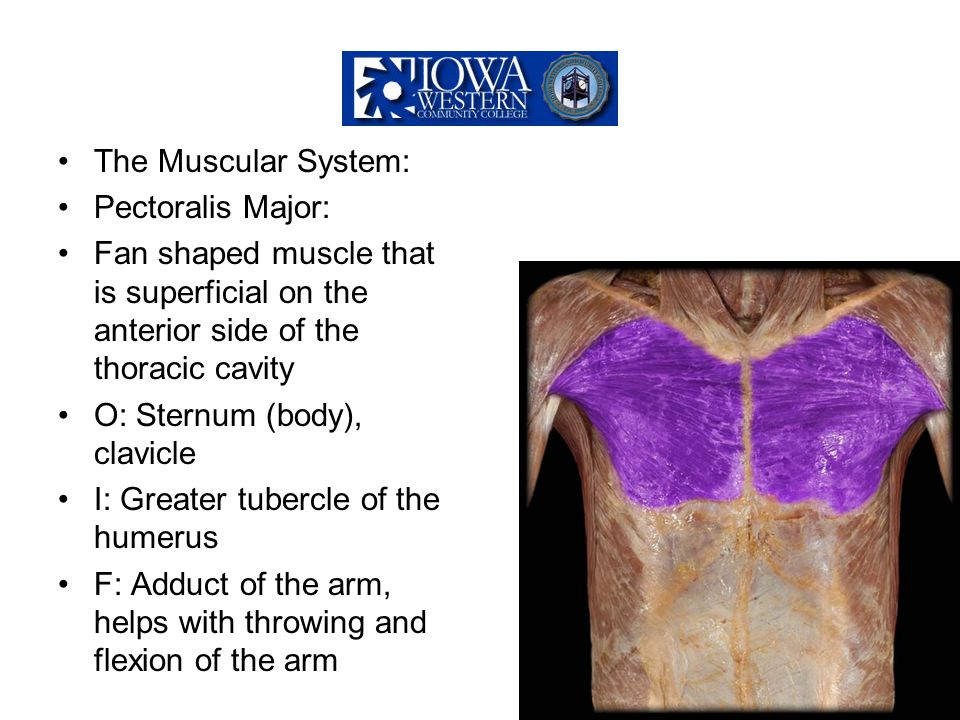The Muscular System: Pectoralis Major: Fan shaped muscle that is superficial on the anterior side of the thoracic cavity O: Sternum (body), clavicle I