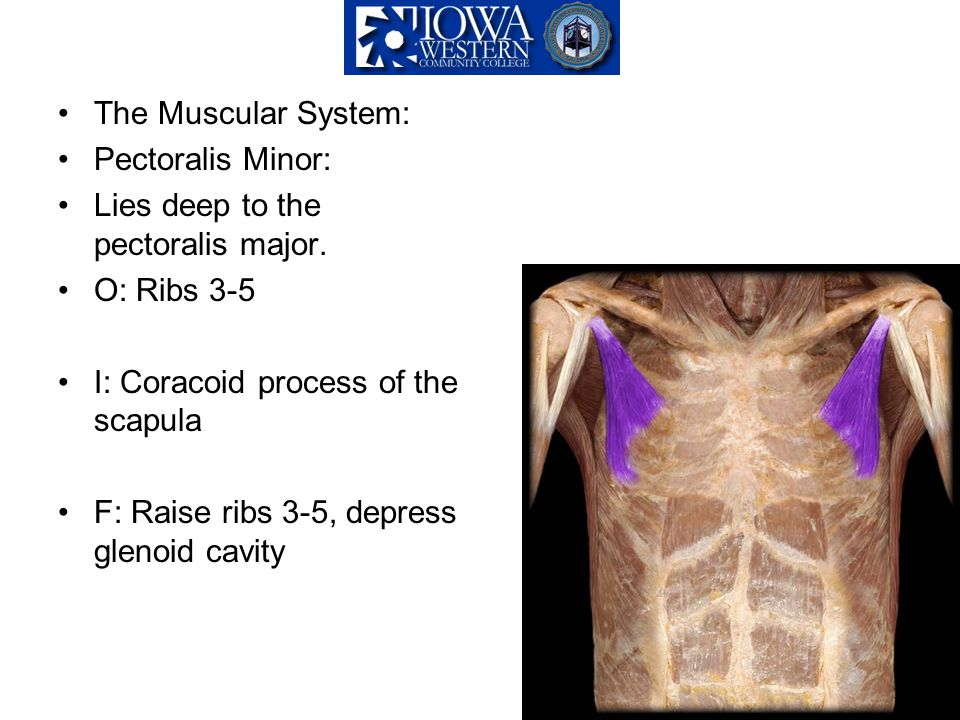 The Muscular System: Pectoralis Minor: Lies deep to the pectoralis major. O: Ribs 3-5 I: Coracoid process of the scapula F: Raise ribs 3-5, depress gl