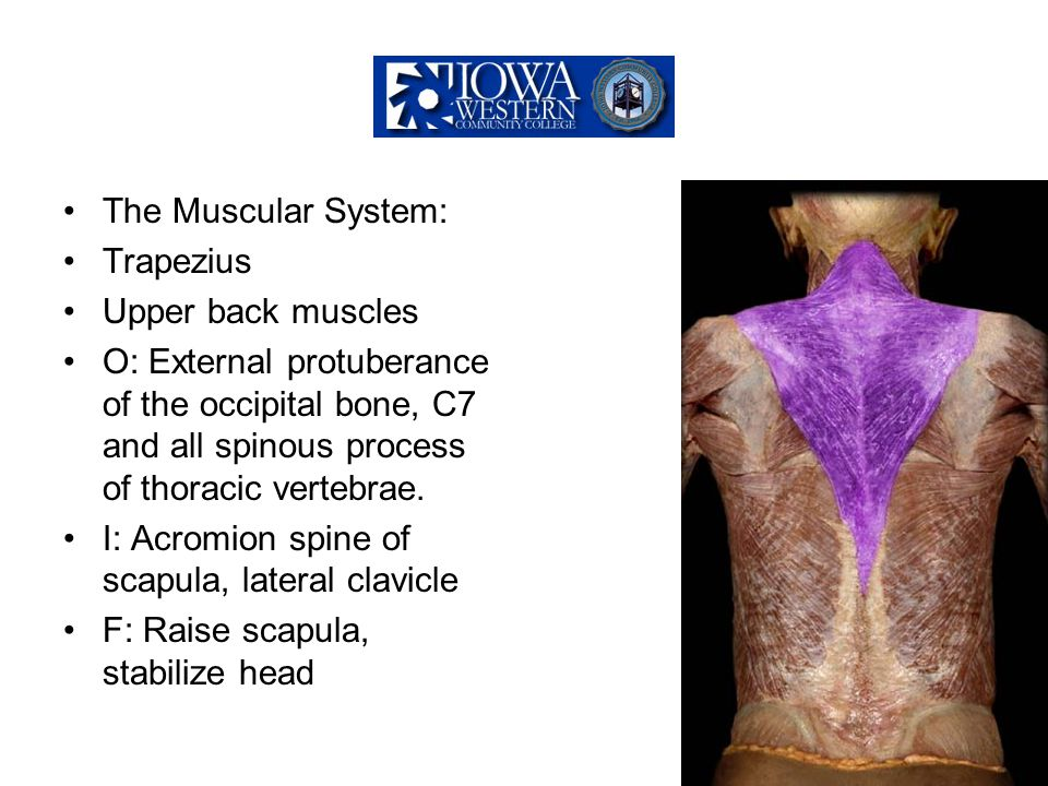 The Muscular System: Trapezius Upper back muscles O: External protuberance of the occipital bone, C7 and all spinous process of thoracic vertebrae. I: