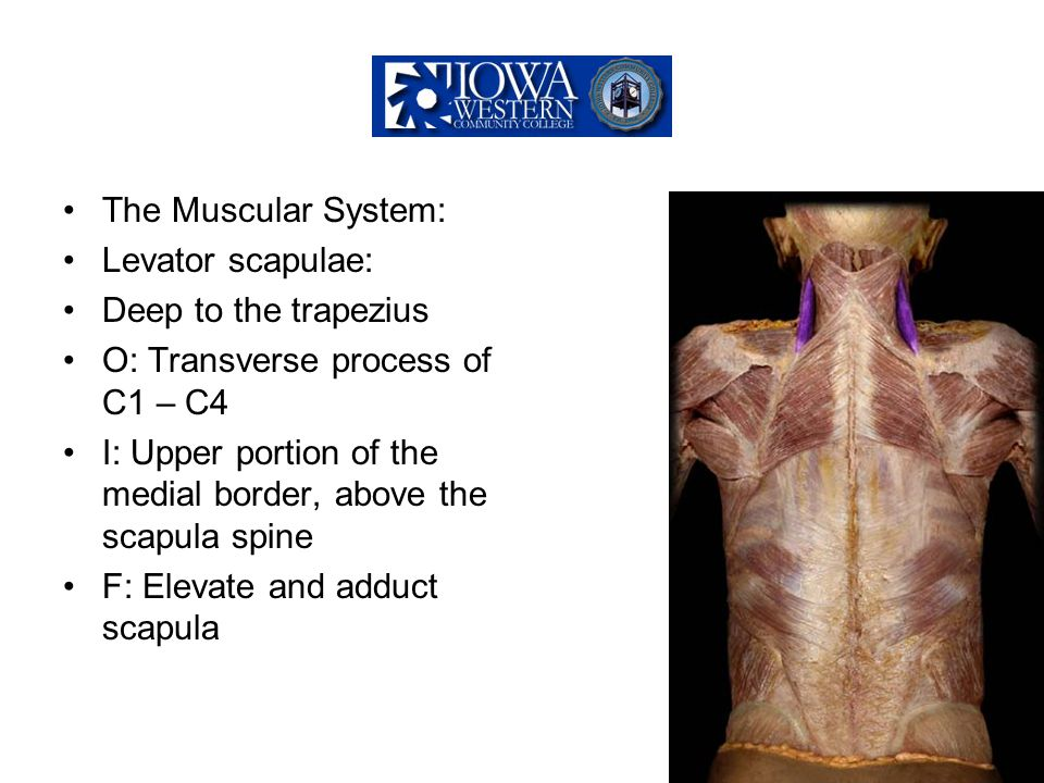 The Muscular System: Levator scapulae: Deep to the trapezius O: Transverse process of C1 – C4 I: Upper portion of the medial border, above the scapula