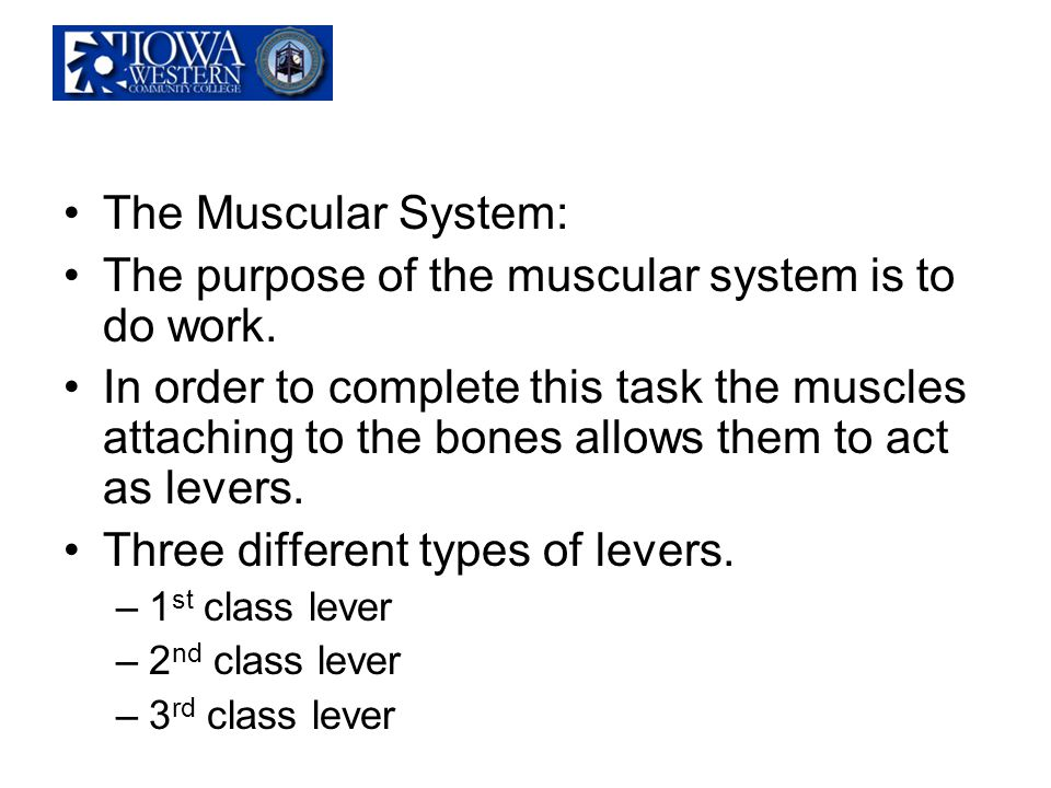 The Muscular System: The purpose of the muscular system is to do work. In order to complete this task the muscles attaching to the bones allows them t
