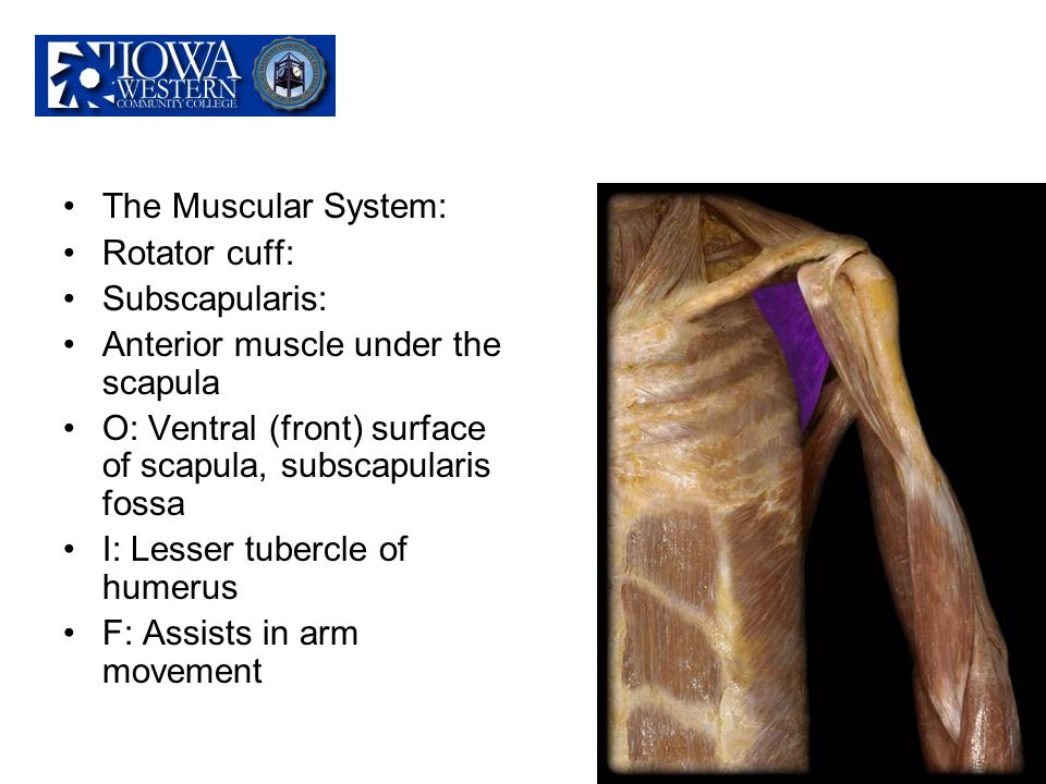 The Muscular System: Rotator cuff: Subscapularis: Anterior muscle under the scapula O: Ventral (front) surface of scapula, subscapularis fossa I: Less