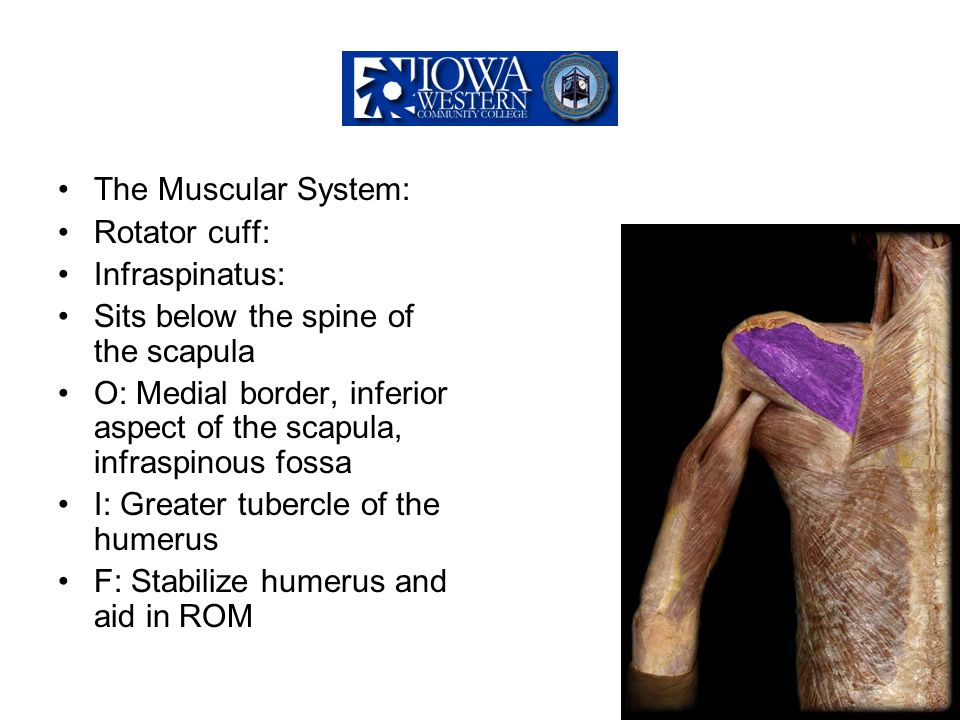 The Muscular System: Rotator cuff: Infraspinatus: Sits below the spine of the scapula O: Medial border, inferior aspect of the scapula, infraspinous f