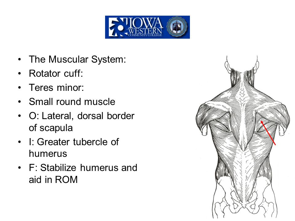 The Muscular System: Rotator cuff: Teres minor: Small round muscle O: Lateral, dorsal border of scapula I: Greater tubercle of humerus F: Stabilize hu