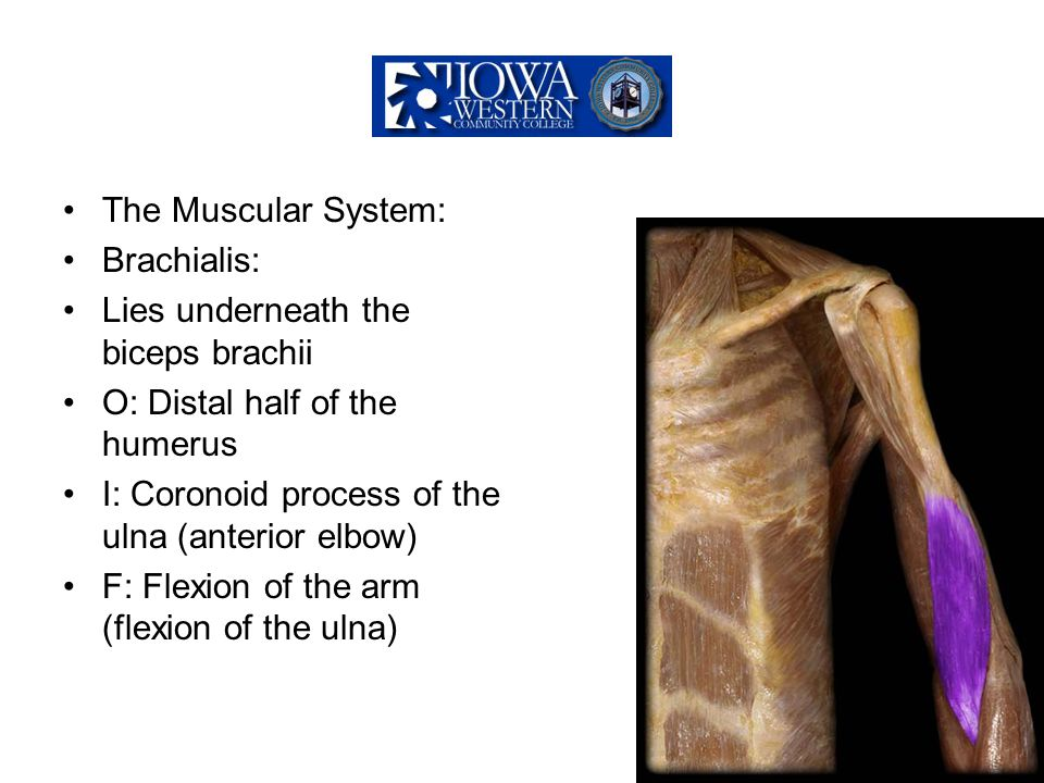 The Muscular System: Brachialis: Lies underneath the biceps brachii O: Distal half of the humerus I: Coronoid process of the ulna (anterior elbow) F: