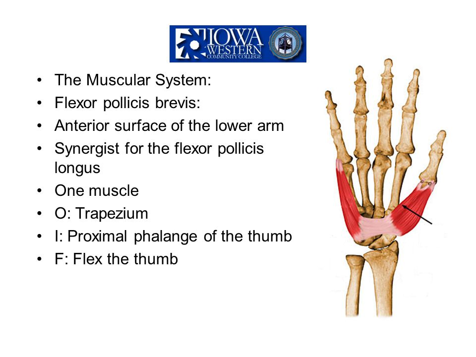 The Muscular System: Flexor pollicis brevis: Anterior surface of the lower arm Synergist for the flexor pollicis longus One muscle O: Trapezium I: Pro
