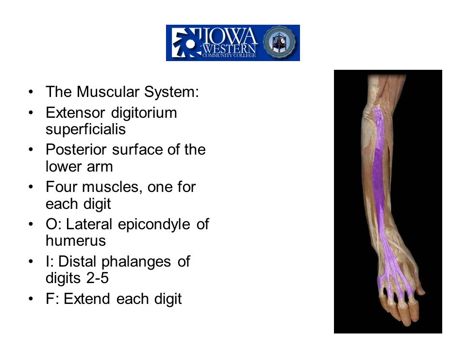 The Muscular System: Extensor digitorium superficialis Posterior surface of the lower arm Four muscles, one for each digit O: Lateral epicondyle of hu