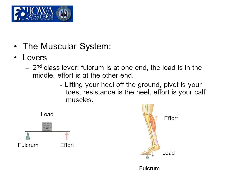 The Muscular System: Levers –2 nd class lever: fulcrum is at one end, the load is in the middle, effort is at the other end. - Lifting your heel off t