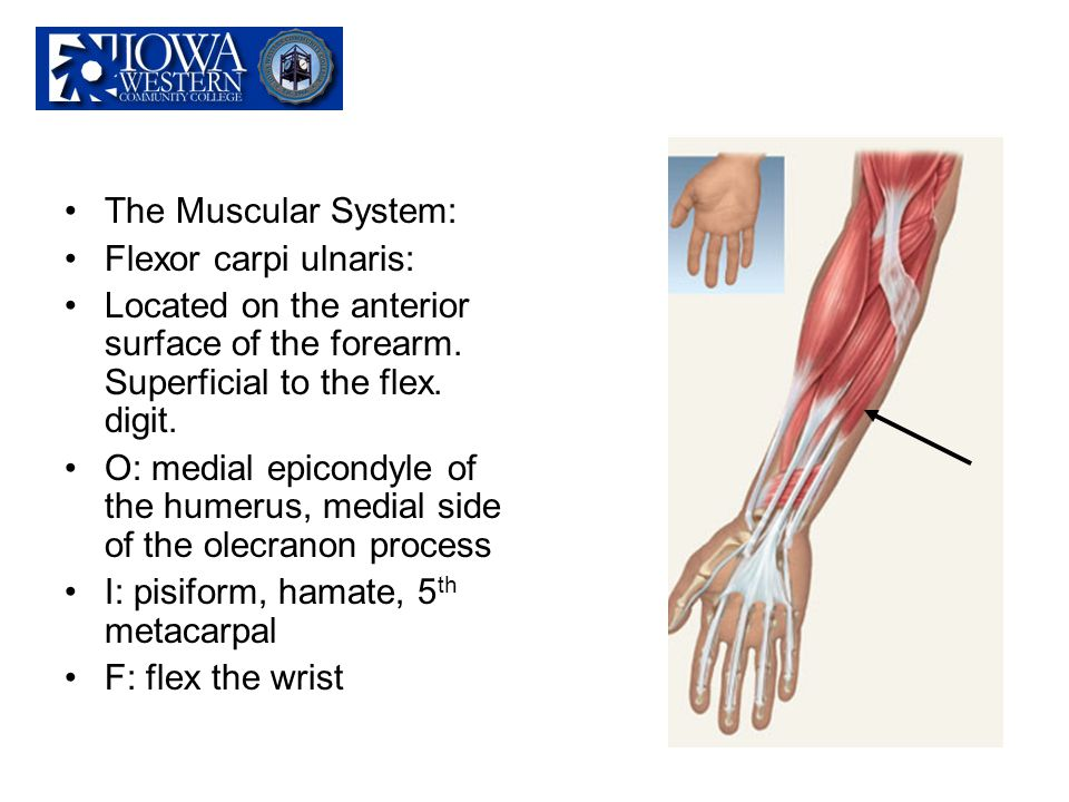 The Muscular System: Flexor carpi ulnaris: Located on the anterior surface of the forearm. Superficial to the flex. digit. O: medial epicondyle of the