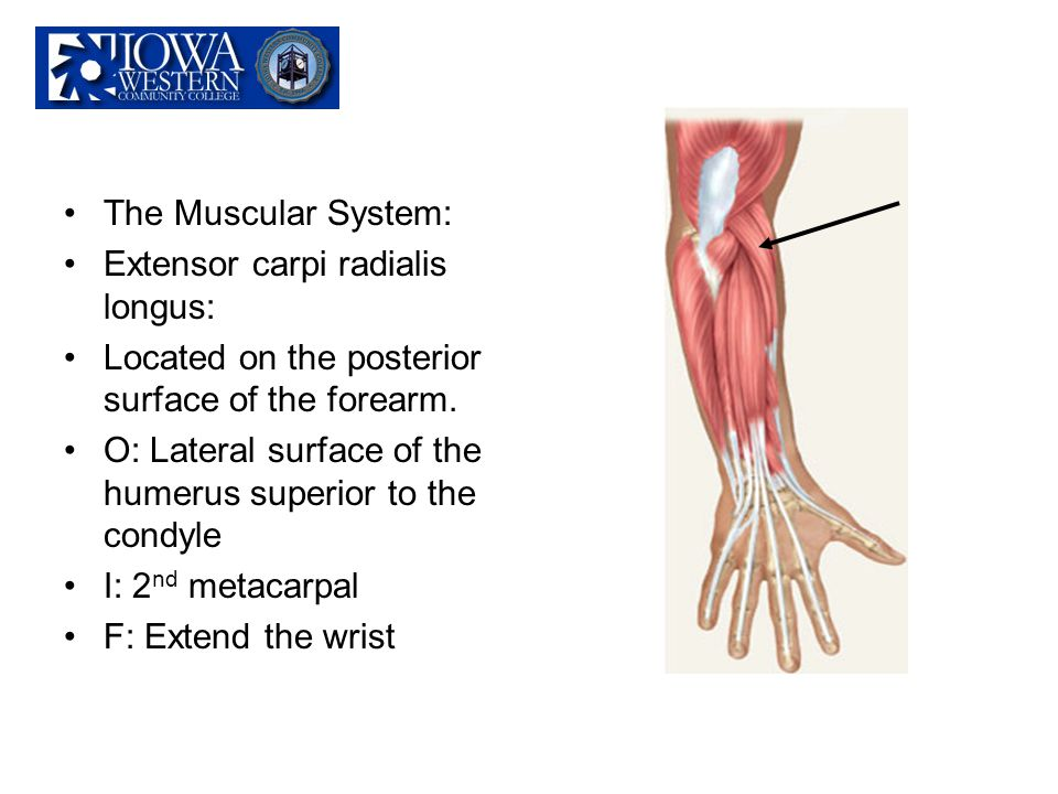 The Muscular System: Extensor carpi radialis longus: Located on the posterior surface of the forearm. O: Lateral surface of the humerus superior to th