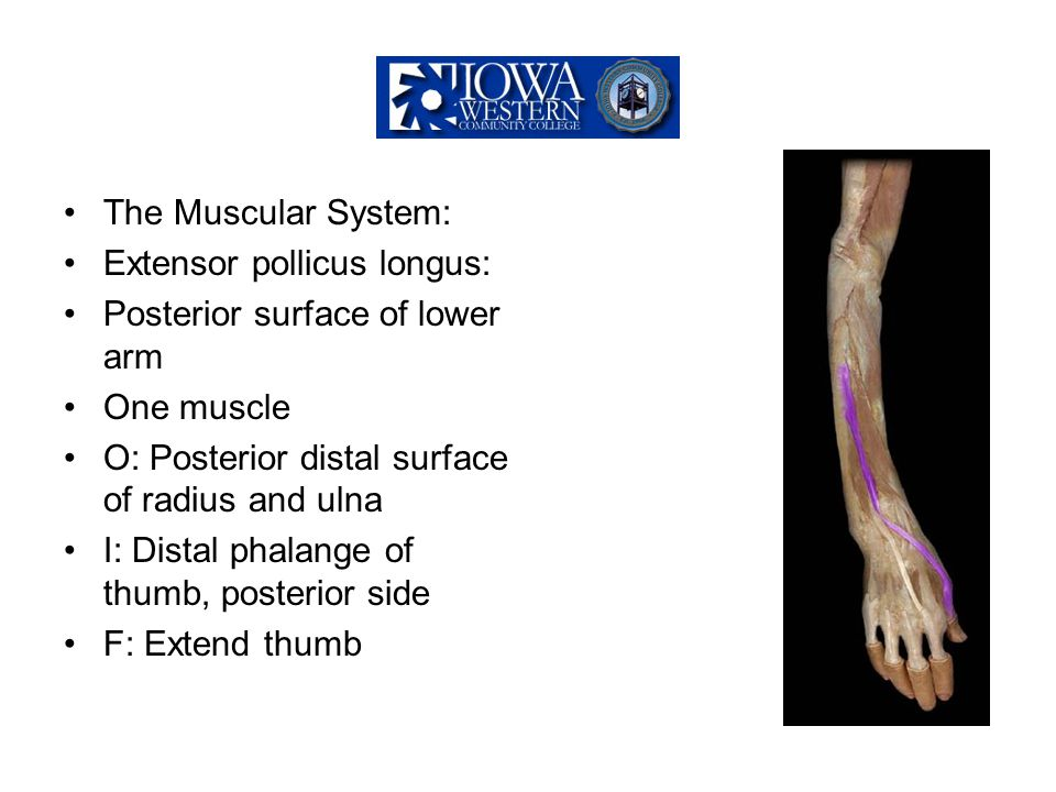 The Muscular System: Extensor pollicus longus: Posterior surface of lower arm One muscle O: Posterior distal surface of radius and ulna I: Distal phal
