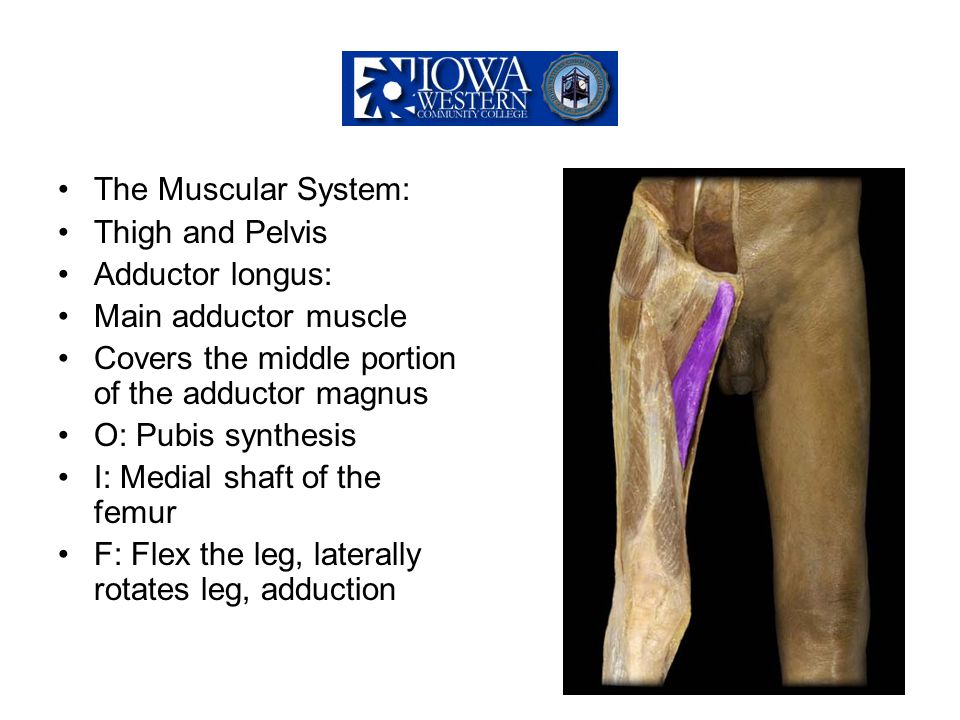The Muscular System: Thigh and Pelvis Adductor longus: Main adductor muscle Covers the middle portion of the adductor magnus O: Pubis synthesis I: Med