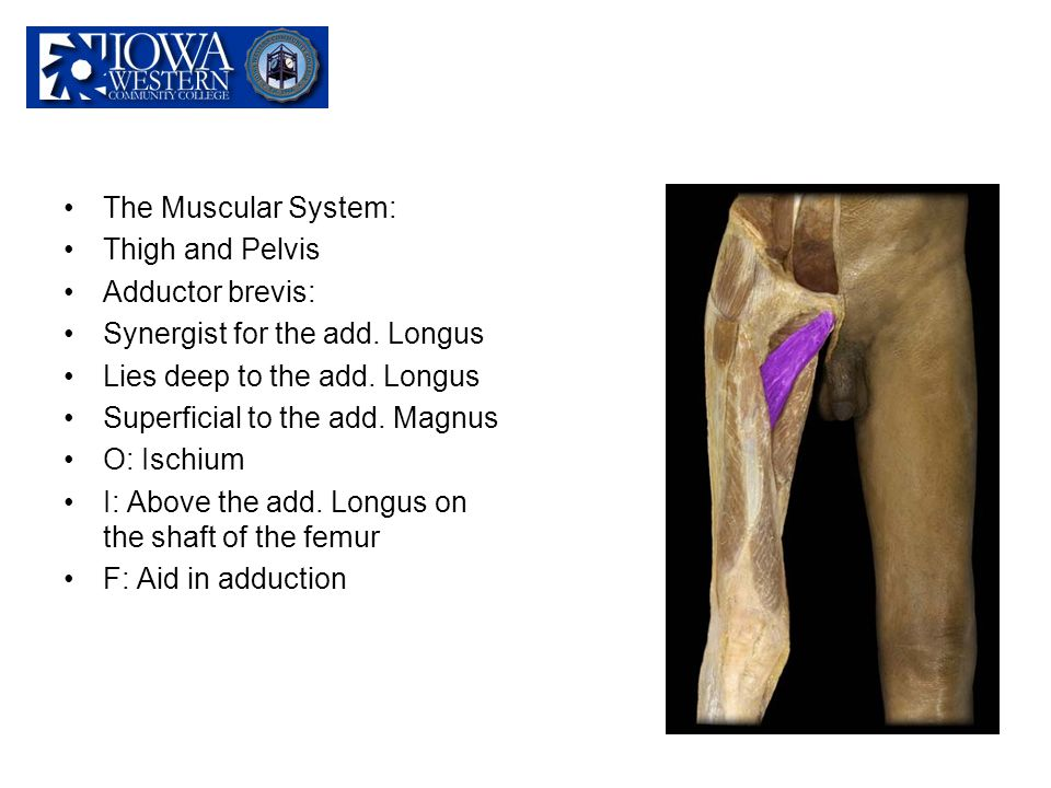 The Muscular System: Thigh and Pelvis Adductor brevis: Synergist for the add. Longus Lies deep to the add. Longus Superficial to the add. Magnus O: Is
