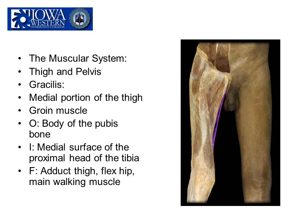 The Muscular System: Thigh and Pelvis Gracilis: Medial portion of the thigh Groin muscle O: Body of the pubis bone I: Medial surface of the proximal h