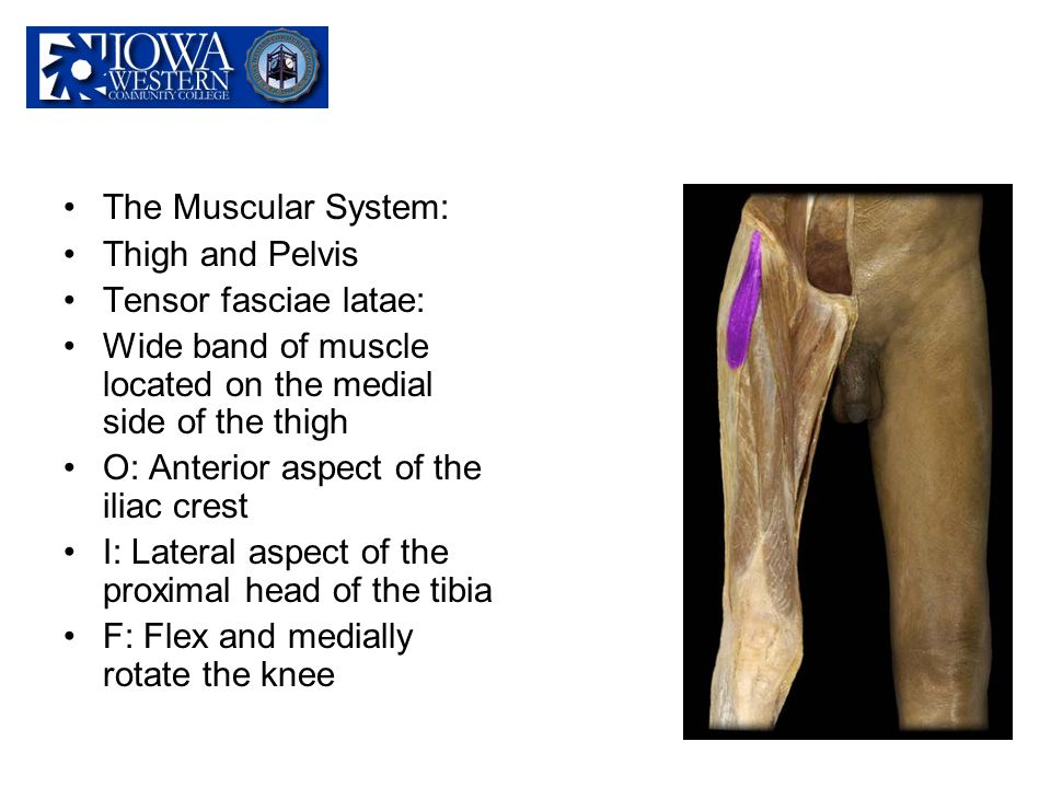 The Muscular System: Thigh and Pelvis Tensor fasciae latae: Wide band of muscle located on the medial side of the thigh O: Anterior aspect of the ilia
