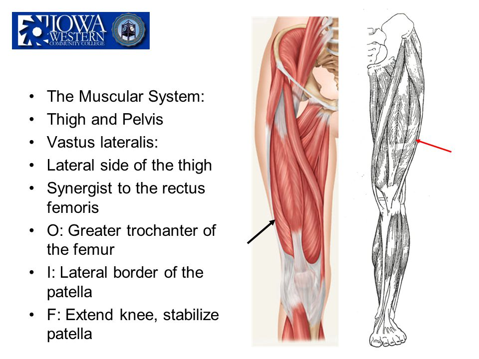 The Muscular System: Thigh and Pelvis Vastus lateralis: Lateral side of the thigh Synergist to the rectus femoris O: Greater trochanter of the femur I