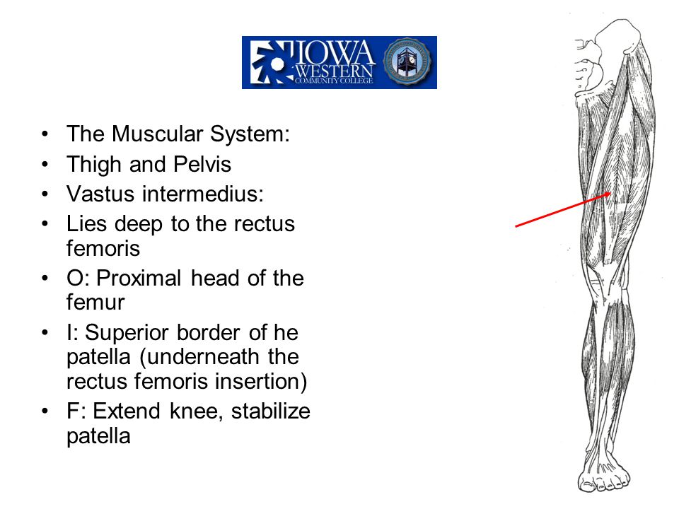 The Muscular System: Thigh and Pelvis Vastus intermedius: Lies deep to the rectus femoris O: Proximal head of the femur I: Superior border of he patel
