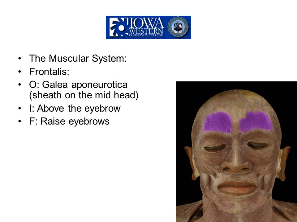 The Muscular System: Frontalis: O: Galea aponeurotica (sheath on the mid head) I: Above the eyebrow F: Raise eyebrows