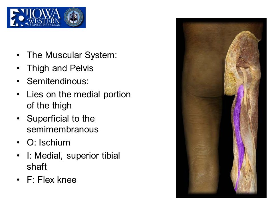 The Muscular System: Thigh and Pelvis Semitendinous: Lies on the medial portion of the thigh Superficial to the semimembranous O: Ischium I: Medial, s