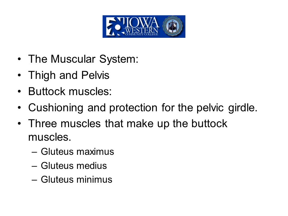 The Muscular System: Thigh and Pelvis Buttock muscles: Cushioning and protection for the pelvic girdle. Three muscles that make up the buttock muscles