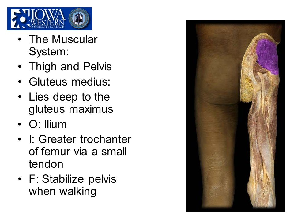 The Muscular System: Thigh and Pelvis Gluteus medius: Lies deep to the gluteus maximus O: Ilium I: Greater trochanter of femur via a small tendon F: S