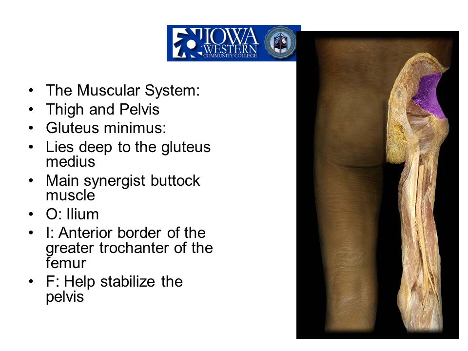The Muscular System: Thigh and Pelvis Gluteus minimus: Lies deep to the gluteus medius Main synergist buttock muscle O: Ilium I: Anterior border of th