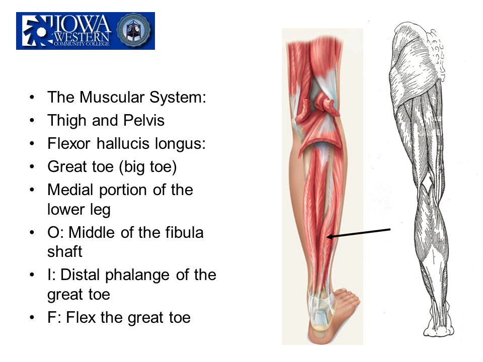 The Muscular System: Thigh and Pelvis Flexor hallucis longus: Great toe (big toe) Medial portion of the lower leg O: Middle of the fibula shaft I: Dis