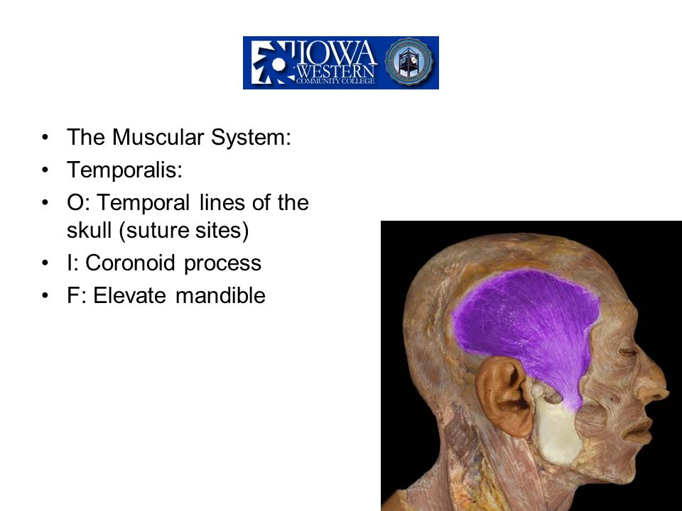 The Muscular System: Temporalis: O: Temporal lines of the skull (suture sites) I: Coronoid process F: Elevate mandible