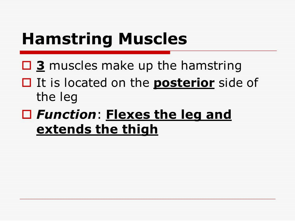 Hamstring Muscles  3 muscles make up the hamstring  It is located on the posterior side of the leg  Function: Flexes the leg and extends the thigh