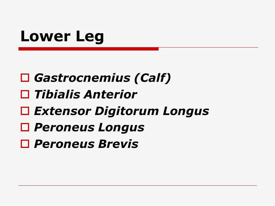 Lower Leg  Gastrocnemius (Calf)  Tibialis Anterior  Extensor Digitorum Longus  Peroneus Longus  Peroneus Brevis