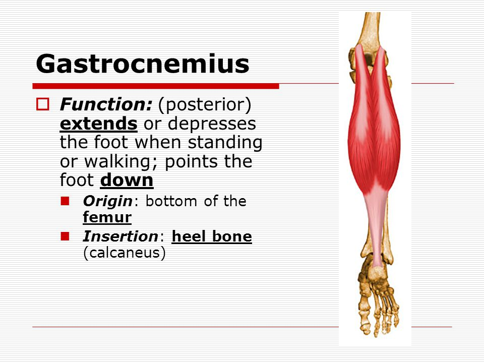 Gastrocnemius  Function: (posterior) extends or depresses the foot when standing or walking; points the foot down Origin: bottom of the femur Inserti
