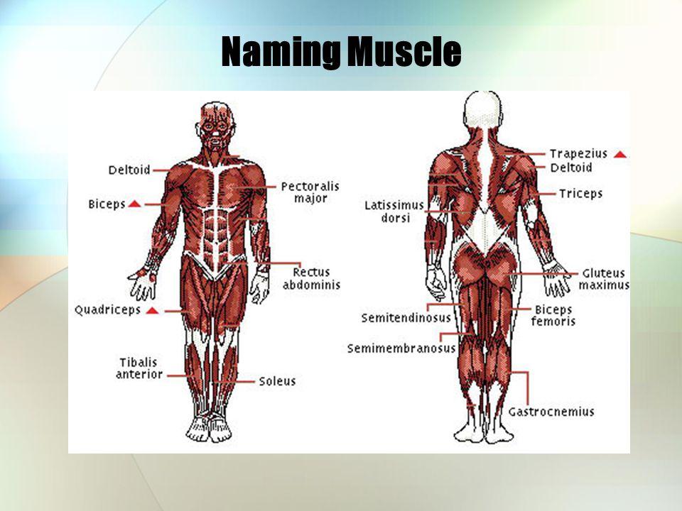 Naming Muscle