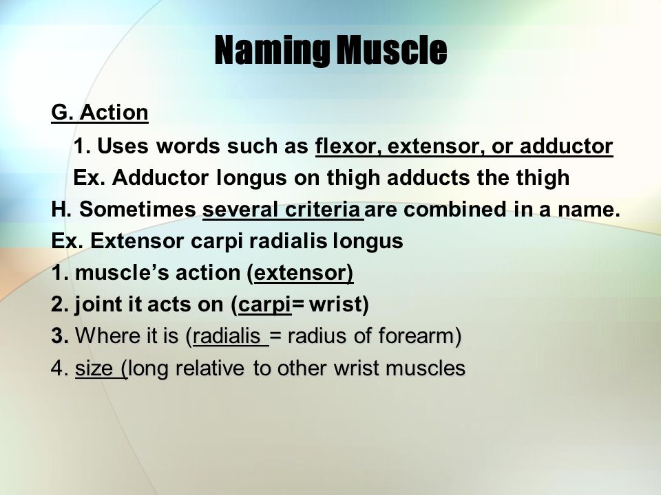 Naming Muscle G.Action 1. Uses words such as flexor, extensor, or adductor Ex.