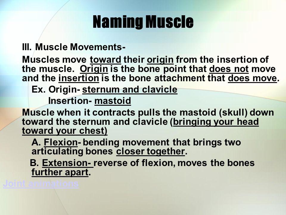 Naming Muscle III.