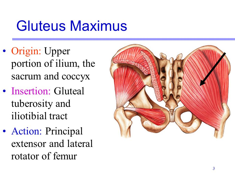 4 Origin: Middle portion of ilium Insertion: Oblique ridge on greater trochanter of femur Action: Abducts femur, stabilizes contralateral hip while standing on one leg Gluteus Medius