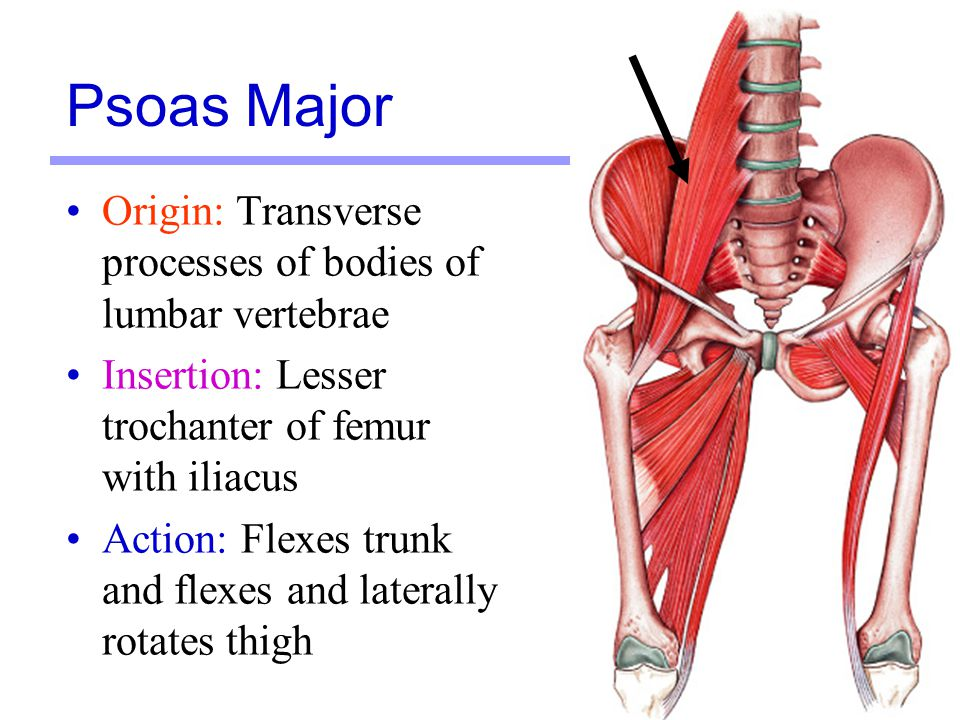 8 Origin: Iliac fossa and lateral margin of sacrum Insertion: Lesser trochanter of femur with psoas major Action: Flexes and laterally rotates femur Iliacus