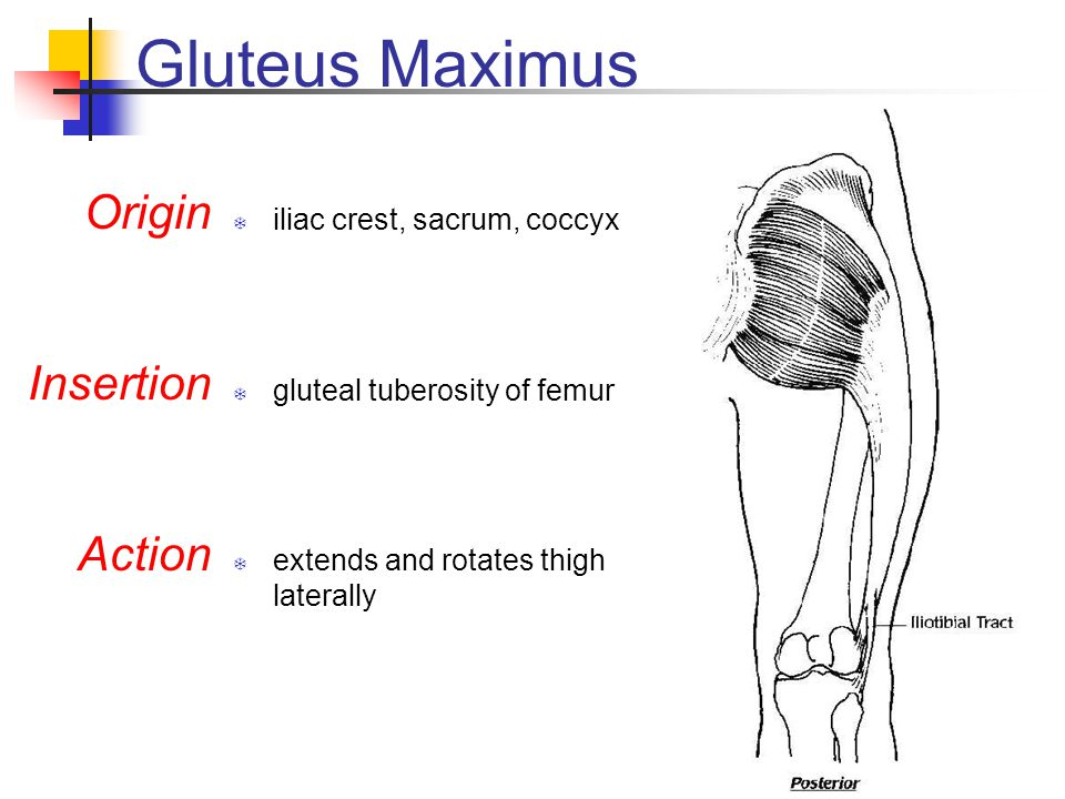 Gluteus Maximus  iliac crest, sacrum, coccyx  gluteal tuberosity of femur  extends and rotates thigh laterally Origin Insertion Action