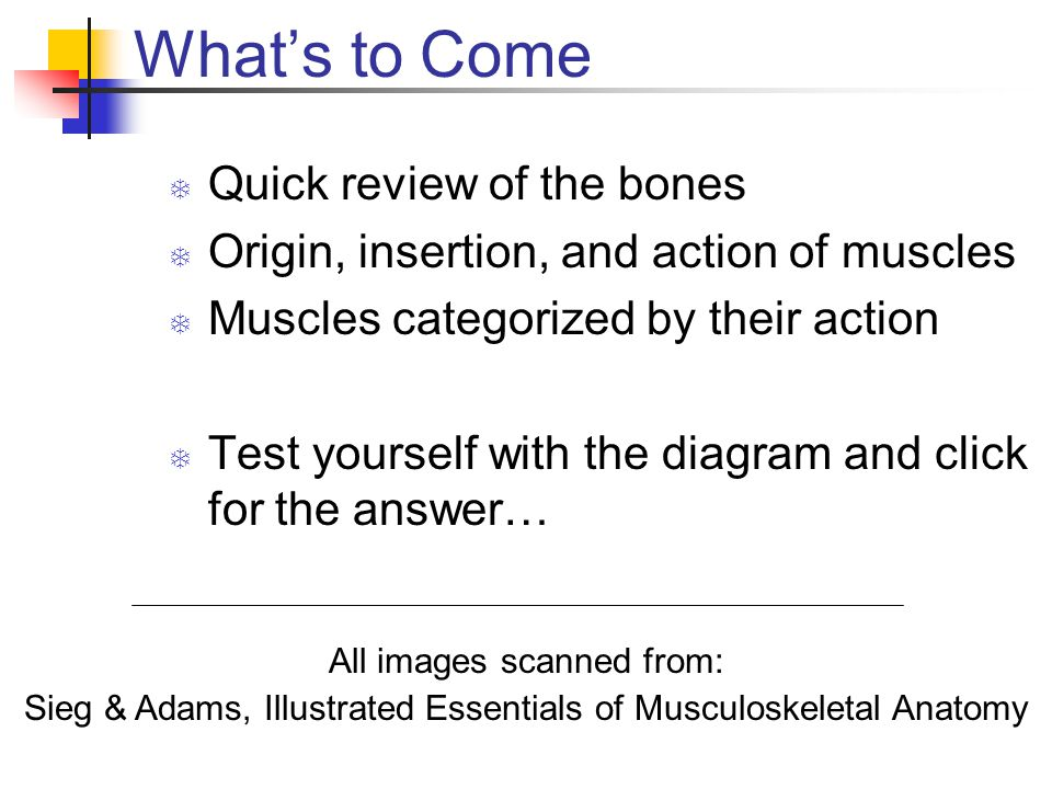 What's to Come  Quick review of the bones  Origin, insertion, and action of muscles  Muscles categorized by their action  Test yourself with the diagram and click for the answer… All images scanned from: Sieg & Adams, Illustrated Essentials of Musculoskeletal Anatomy