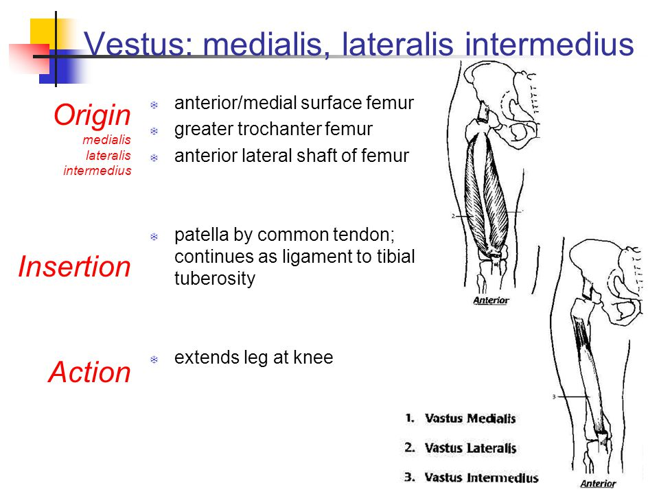 Vestus: medialis, lateralis intermedius  anterior/medial surface femur  greater trochanter femur  anterior lateral shaft of femur  patella by common tendon; continues as ligament to tibial tuberosity  extends leg at knee Origin medialis lateralis intermedius Insertion Action