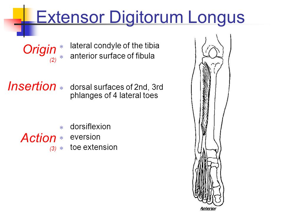 Extensor Digitorum Longus  lateral condyle of the tibia  anterior surface of fibula  dorsal surfaces of 2nd, 3rd phlanges of 4 lateral toes  dorsiflexion  eversion  toe extension Origin (2) Insertion Action (3)