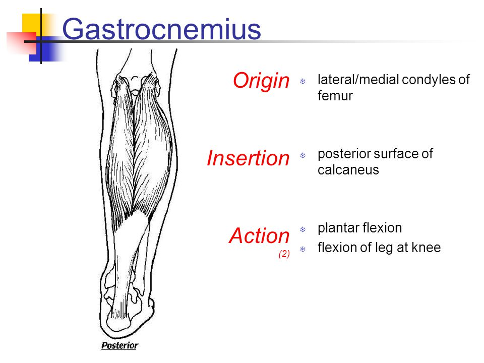 Gastrocnemius  lateral/medial condyles of femur  posterior surface of calcaneus  plantar flexion  flexion of leg at knee Origin Insertion Action (2)