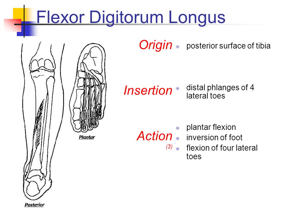 Flexor Digitorum Longus  posterior surface of tibia  distal phlanges of 4 lateral toes  plantar flexion  inversion of foot  flexion of four lateral toes Origin Insertion Action (3)