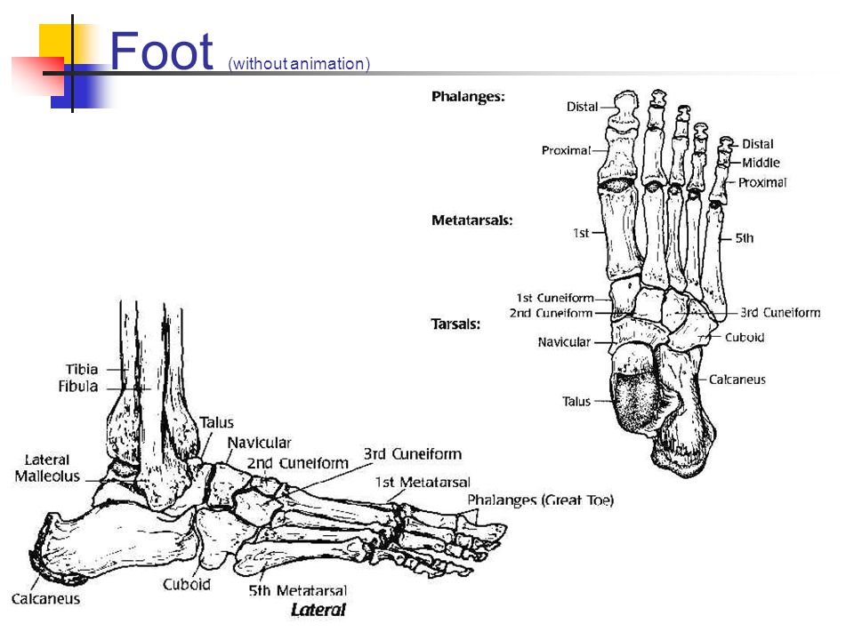 Foot (without animation)