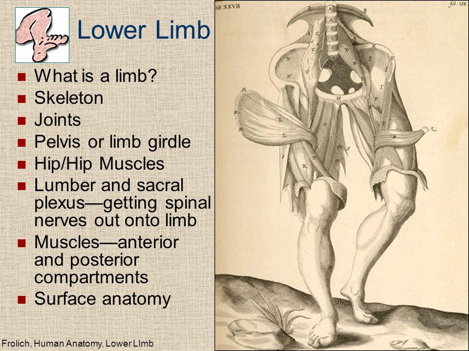 Frolich, Human Anatomy, Lower LImb What is a limb.