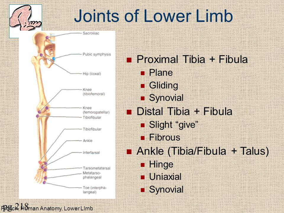 """Frolich, Human Anatomy, Lower LImb Joints of Lower Limb Proximal Tibia + Fibula Plane Gliding Synovial Distal Tibia + Fibula Slight """"give"""" Fibrous Ank"""