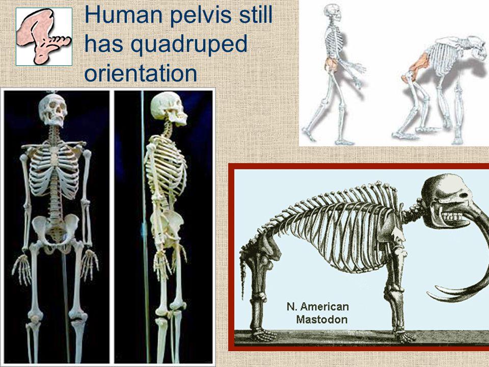 Frolich, Human Anatomy, Lower LImb Human pelvis still has quadruped orientation