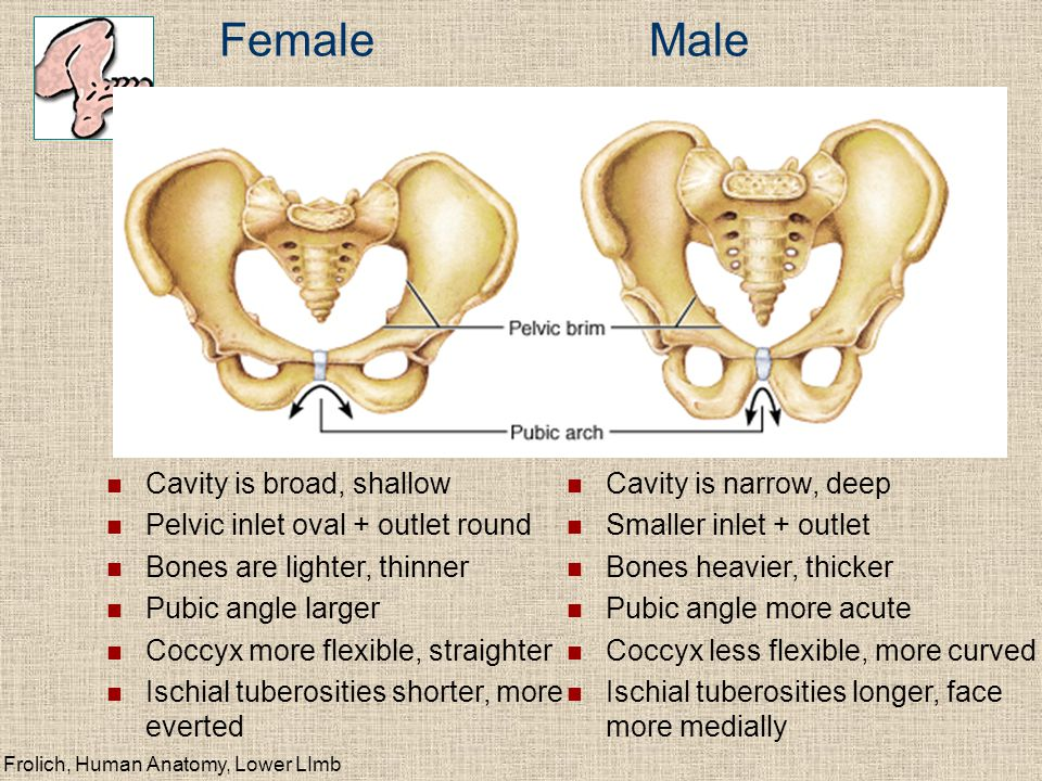 Female Male Cavity is broad, shallow Pelvic inlet oval + outlet round Bones are lighter, thinner Pubic angle larger Coccyx more flexible, straighter I