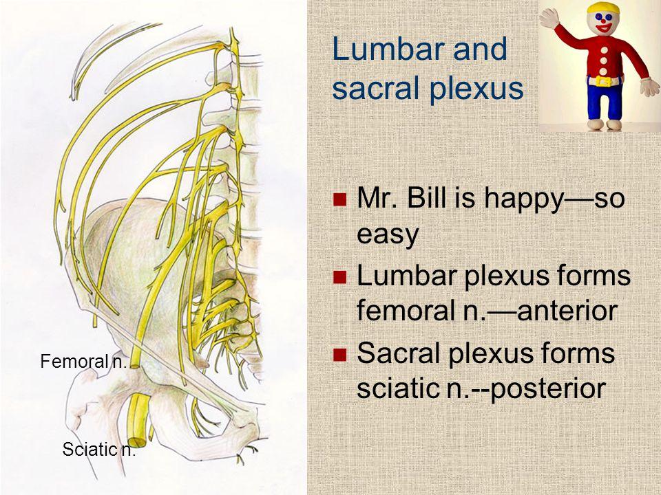 Frolich, Human Anatomy, Lower LImb Lumbar and sacral plexus Mr. Bill is happy—so easy Lumbar plexus forms femoral n.—anterior Sacral plexus forms scia